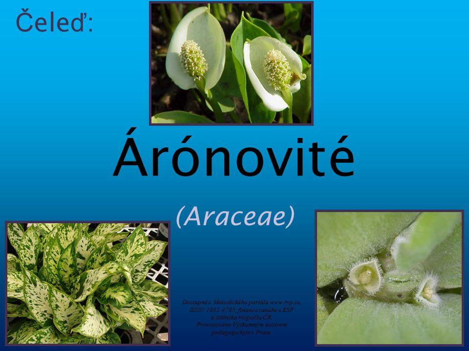 Říše:rostliny (Plantae) Podříše:cévnaté rostliny (Tracheobionta) Oddělení:krytosemenné (Magnoliophyta) Třída:jednoděložné (Liliopsida) Řád:žabníkotvaré (Alismatales) Čeleď:árónovité (Araceae) Klasifikace Závitka mnohokořenná Árón plamatý