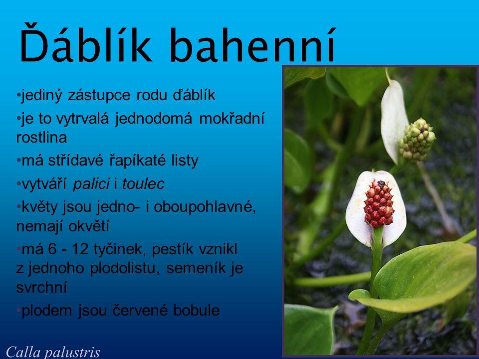jediný zástupce rodu ďáblík je to vytrvalá jednodomá mokřadní rostlina má střídavé řapíkaté listy vytváří palici i toulec květy jsou jedno- i oboupohl