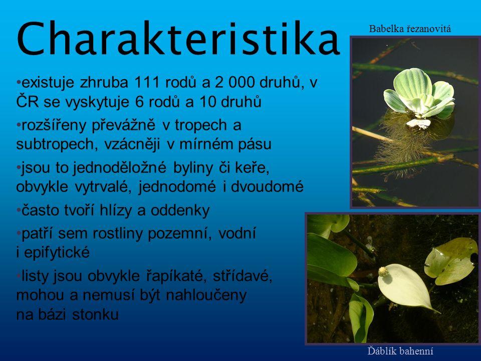 mohou být oboupohlavné i jednopohlavné květy uspořádané do spirály tvoří květenství zvané palice palice je zpravidla podepřena listenem zvaným toulec květ mívá 4 - 8 okvětních lístků i tyčinek, ve 2 přeslenech mají svrchní semeník srostlý obvykle ze tří plodolistů plod je nejčastěji dužnatý, většinou peckovice či bobule Kv ě ty Árón východní toulec palice