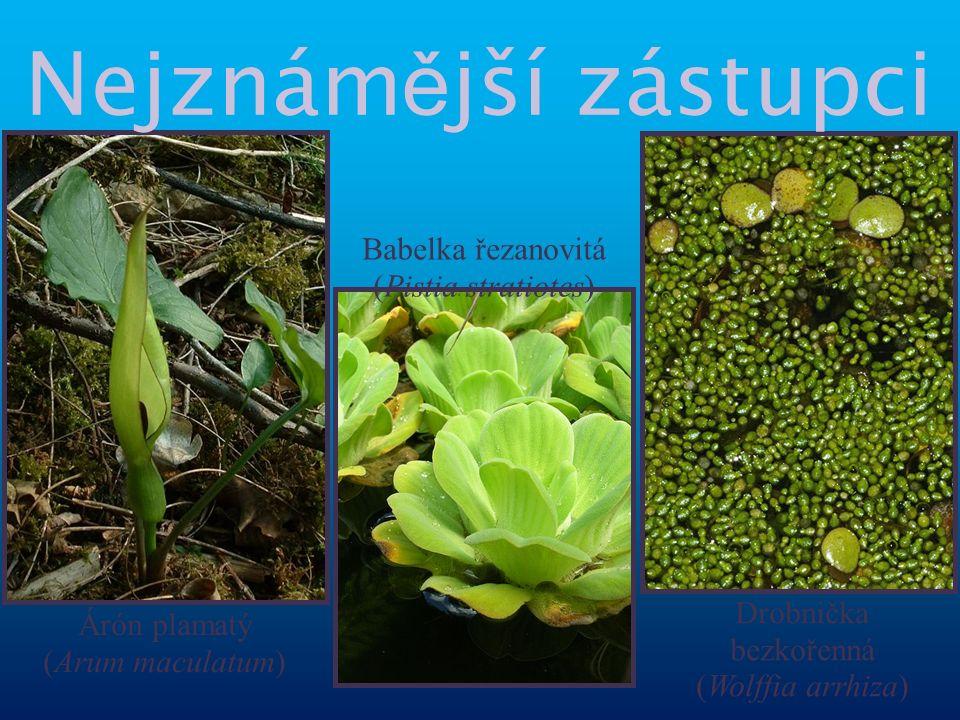 Árón plamatý (Arum maculatum) Drobnička bezkořenná (Wolffia arrhiza) Babelka řezanovitá (Pistia stratiotes) Nejznám ě jší zástupci