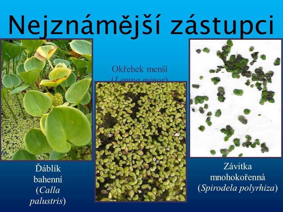 vytrvalá jednodomá bylina listy jsou střídavé, řapíkaté, s listovými pochvami vytváří palici i toulec květ nemá okvětí, má 3 - 4 tyčinky se žlutými prašníky pestík se skládá z jednoho plodolistu, semeník je svrchní plodem jsou červené bobule vyskytuje se pouze v Evropě blízkým příbuzným je Árón východní Árón plamatý Arum maculatum