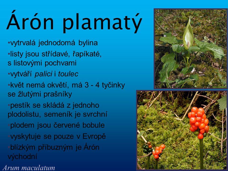 vytrvalá jednodomá bylina listy jsou střídavé, řapíkaté, s listovými pochvami vytváří palici i toulec květ nemá okvětí, má 3 - 4 tyčinky se žlutými pr