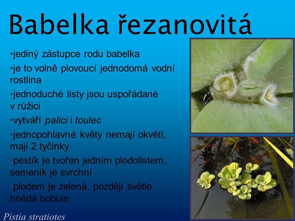 je to extrémně redukovaná vodní rostlina, jednoletá a jednodomá celá lodyha má stélkovitý tvar, listy a kořeny chybí květenství obsahuje jen 2 - 3 květy, toulec chybí květy jsou nejmenší na světě, nemají okvětí, samčí květy jsou redukované na 1 tyčinku, samičí jsou redukovány na pestík z jednoho plodolistu semeník je svrchní, plodem je měchýřek Drobni č ka bezko ř enná Wolffia arrhiza