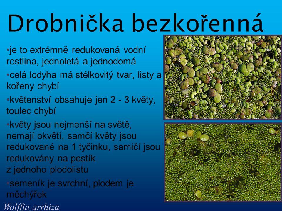 jediný zástupce rodu ďáblík je to vytrvalá jednodomá mokřadní rostlina má střídavé řapíkaté listy vytváří palici i toulec květy jsou jedno- i oboupohlavné, nemají okvětí má 6 - 12 tyčinek, pestík vznikl z jednoho plodolistu, semeník je svrchní plodem jsou červené bobule Ď áblík bahenní Calla palustris