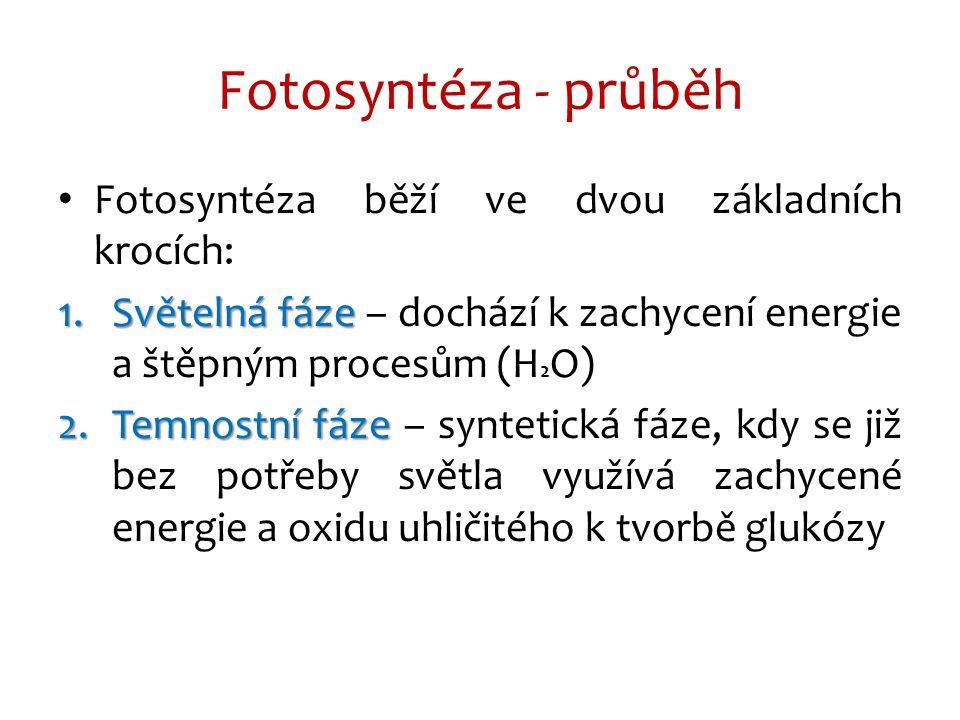 Fotosyntéza běží ve dvou základních krocích: 1.Světelná fáze 1.Světelná fáze – dochází k zachycení energie a štěpným procesům (H 2 O) 2.Temnostní fáze 2.Temnostní fáze – syntetická fáze, kdy se již bez potřeby světla využívá zachycené energie a oxidu uhličitého k tvorbě glukózy Fotosyntéza - průběh