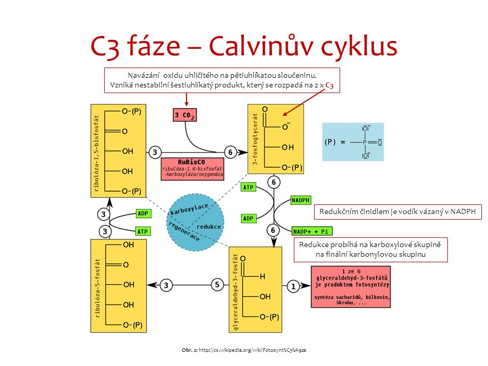 C3 fáze – Calvinův cyklus Redukčním činidlem je vodík vázaný v NADPH Navázání oxidu uhličitého na pětiuhlíkatou sloučeninu. Vzniká nestabilní šestiuhl