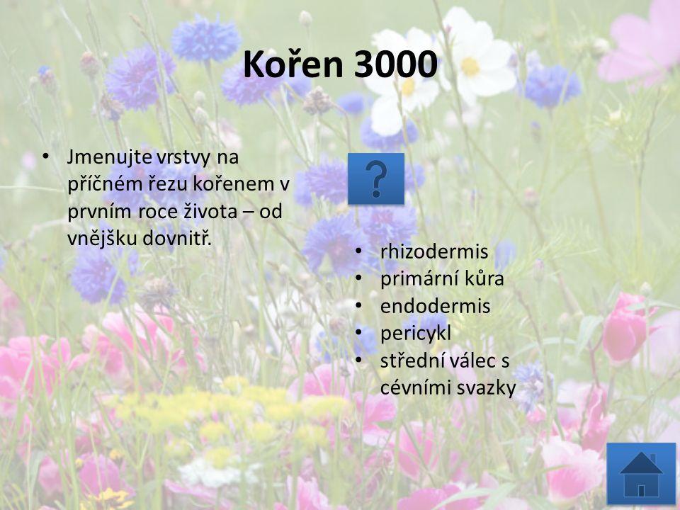 Kořen 3000 Jmenujte vrstvy na příčném řezu kořenem v prvním roce života – od vnějšku dovnitř. rhizodermis primární kůra endodermis pericykl střední vá