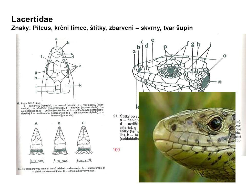 Lacertidae Znaky: Pileus, krční límec, štítky, zbarvení – skvrny, tvar šupin