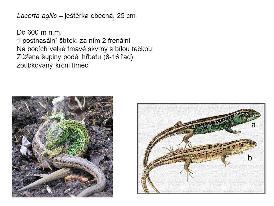 Lacerta agilis – ještěrka obecná, 25 cm Do 600 m n.m.