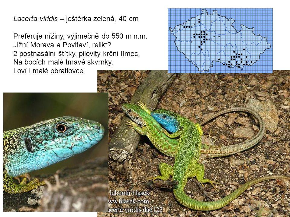 Lacerta viridis – ještěrka zelená, 40 cm Preferuje nížiny, výjimečně do 550 m n.m.