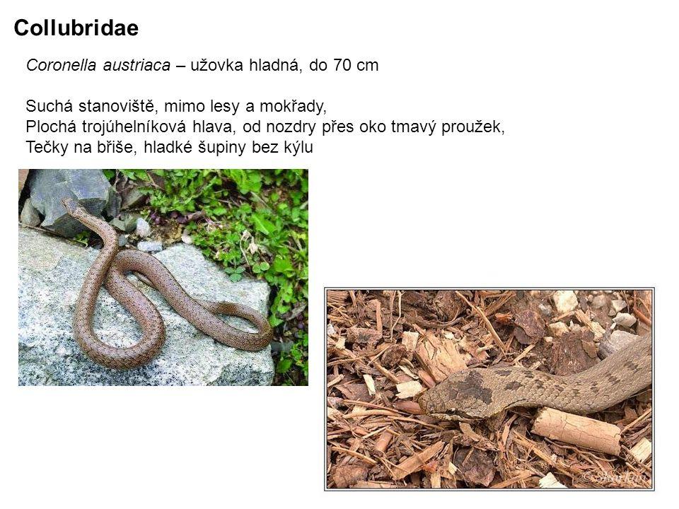 Coronella austriaca – užovka hladná, do 70 cm Suchá stanoviště, mimo lesy a mokřady, Plochá trojúhelníková hlava, od nozdry přes oko tmavý proužek, Tečky na břiše, hladké šupiny bez kýlu Collubridae