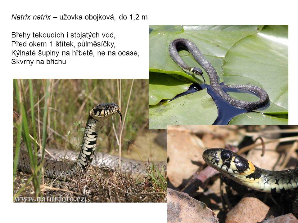 Natrix natrix – užovka obojková, do 1,2 m Břehy tekoucích i stojatých vod, Před okem 1 štítek, půlměsíčky, Kýlnaté šupiny na hřbetě, ne na ocase, Skvrny na břichu