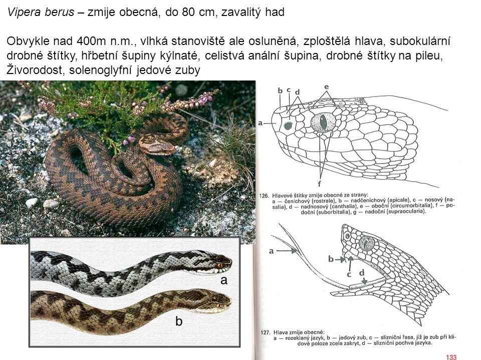 Vipera berus – zmije obecná, do 80 cm, zavalitý had Obvykle nad 400m n.m., vlhká stanoviště ale osluněná, zploštělá hlava, subokulární drobné štítky, hřbetní šupiny kýlnaté, celistvá anální šupina, drobné štítky na pileu, Živorodost, solenoglyfní jedové zuby