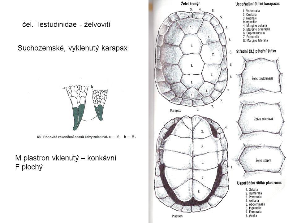 čel. Testudinidae - želvovití Suchozemské, vyklenutý karapax M plastron vklenutý – konkávní F plochý