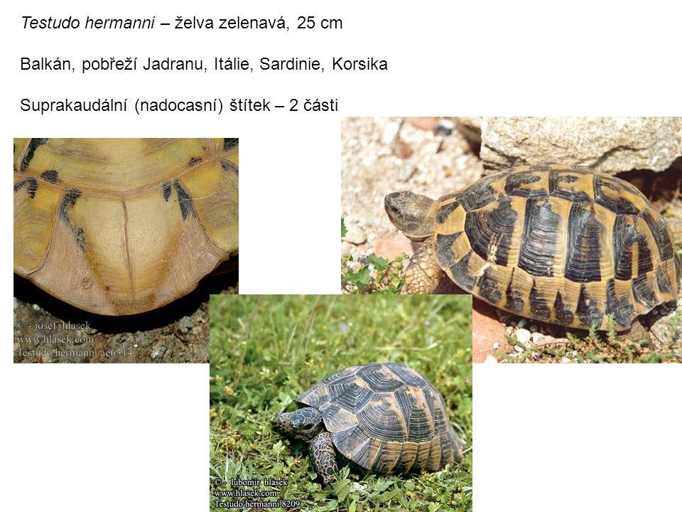 Testudo hermanni – želva zelenavá, 25 cm Balkán, pobřeží Jadranu, Itálie, Sardinie, Korsika Suprakaudální (nadocasní) štítek – 2 části
