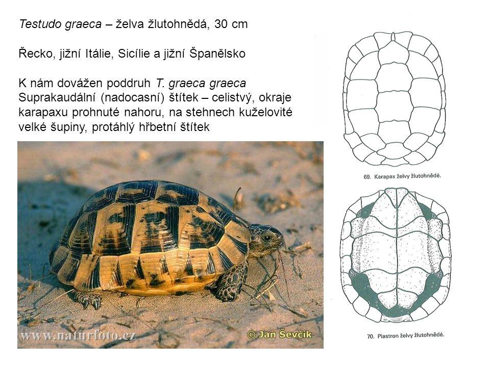 Testudo graeca – želva žlutohnědá, 30 cm Řecko, jižní Itálie, Sicílie a jižní Španělsko K nám dovážen poddruh T.