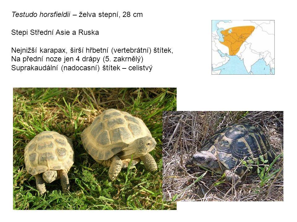 Testudo horsfieldii – želva stepní, 28 cm Stepi Střední Asie a Ruska Nejnižší karapax, širší hřbetní (vertebrátní) štítek, Na přední noze jen 4 drápy (5.