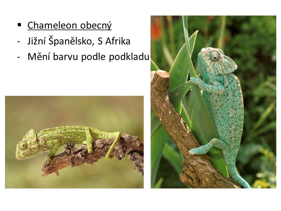  Chameleon obecný -Jižní Španělsko, S Afrika -Mění barvu podle podkladu
