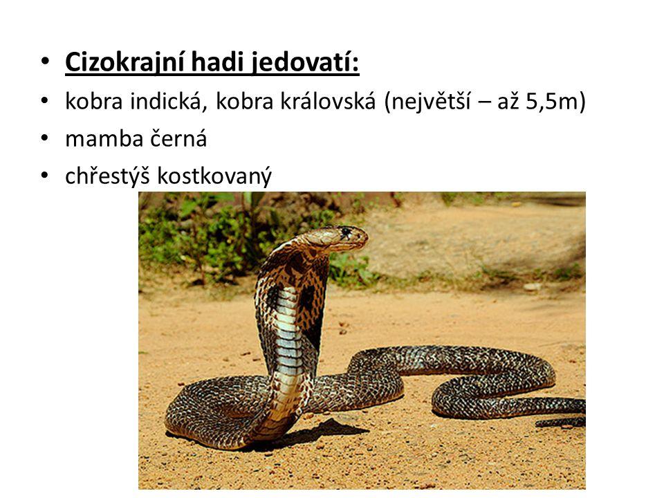 Cizokrajní hadi jedovatí: kobra indická, kobra královská (největší – až 5,5m) mamba černá chřestýš kostkovaný