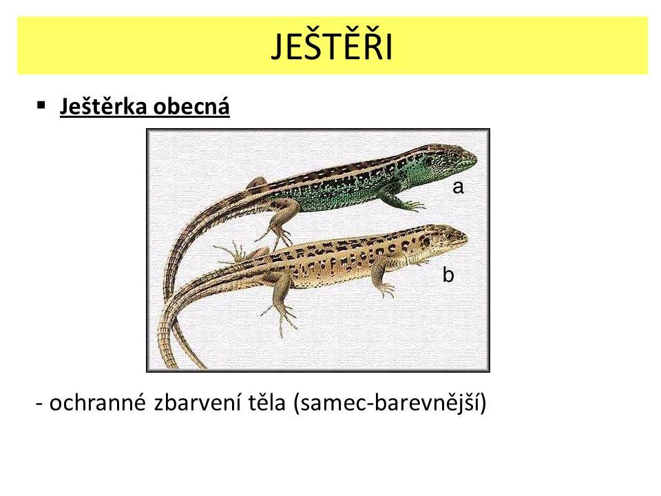  Ještěrka obecná - ochranné zbarvení těla (samec-barevnější) JEŠTĚŘI