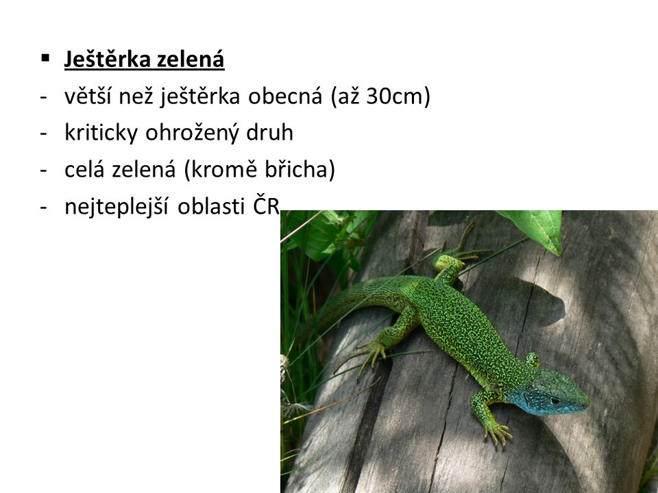  Ještěrka zelená -větší než ještěrka obecná (až 30cm) -kriticky ohrožený druh -celá zelená (kromě břicha) -nejteplejší oblasti ČR