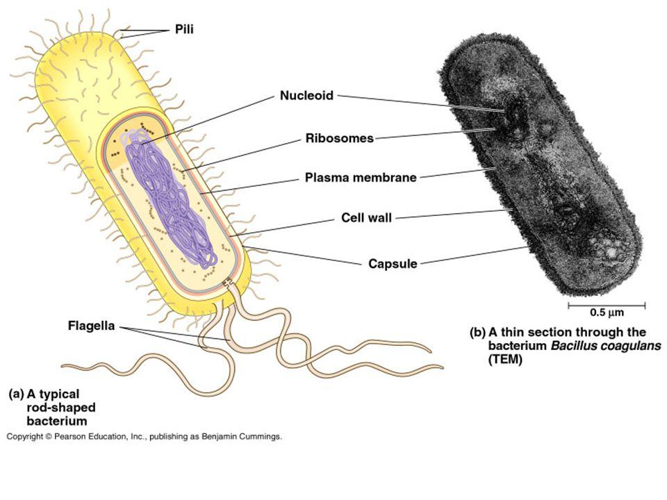 Bakterie – prokaryotická buňka Povrch bakterii mohou pokrývat bičíky (1) nebo řasinky (2).