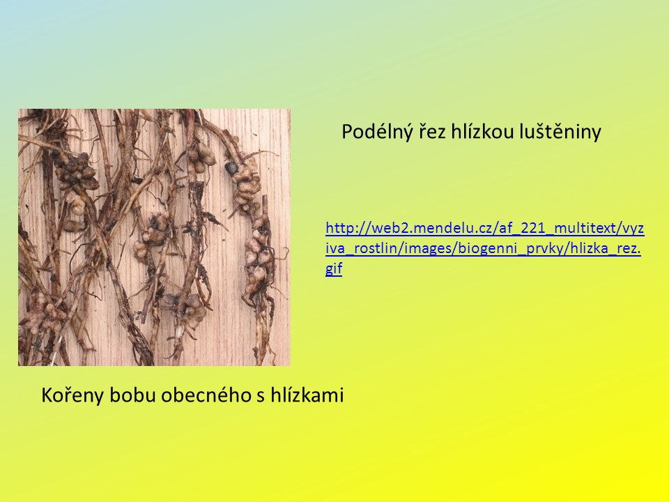 Kořeny bobu obecného s hlízkami Podélný řez hlízkou luštěniny http://web2.mendelu.cz/af_221_multitext/vyz iva_rostlin/images/biogenni_prvky/hlizka_rez.