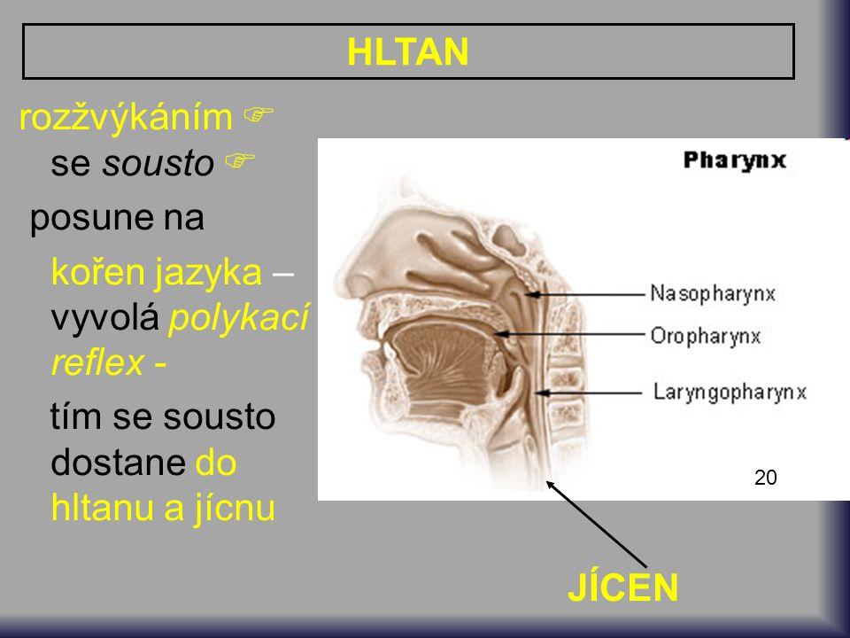 20 HLTAN rozžvýkáním  se sousto  posune na kořen jazyka – vyvolá polykací reflex - tím se sousto dostane do hltanu a jícnu JÍCEN
