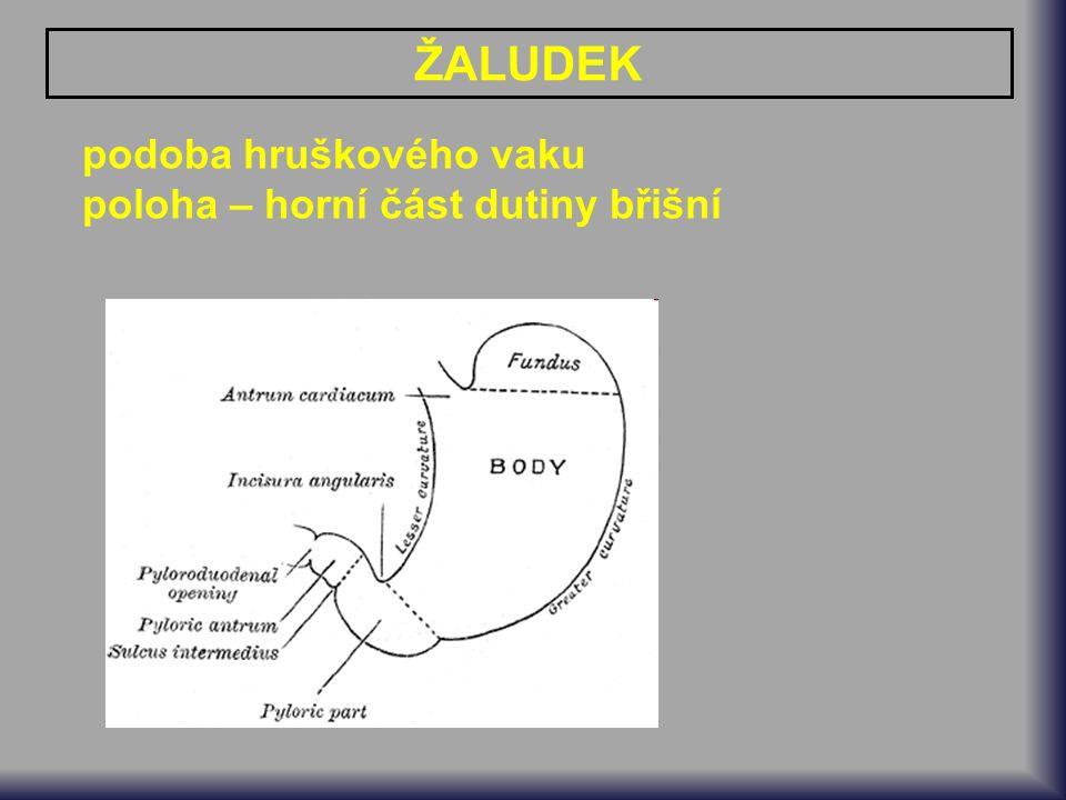 podoba hruškového vaku poloha – horní část dutiny břišní ŽALUDEK