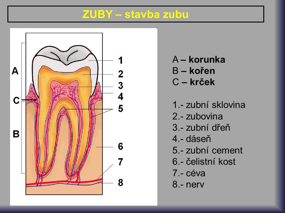 ZUBY – stavba zubu A – korunka B – kořen C – krček 1.- zubní sklovina 2.- zubovina 3.- zubní dřeň 4.- dáseň 5.- zubní cement 6.- čelistní kost 7.- céva 8.- nerv C