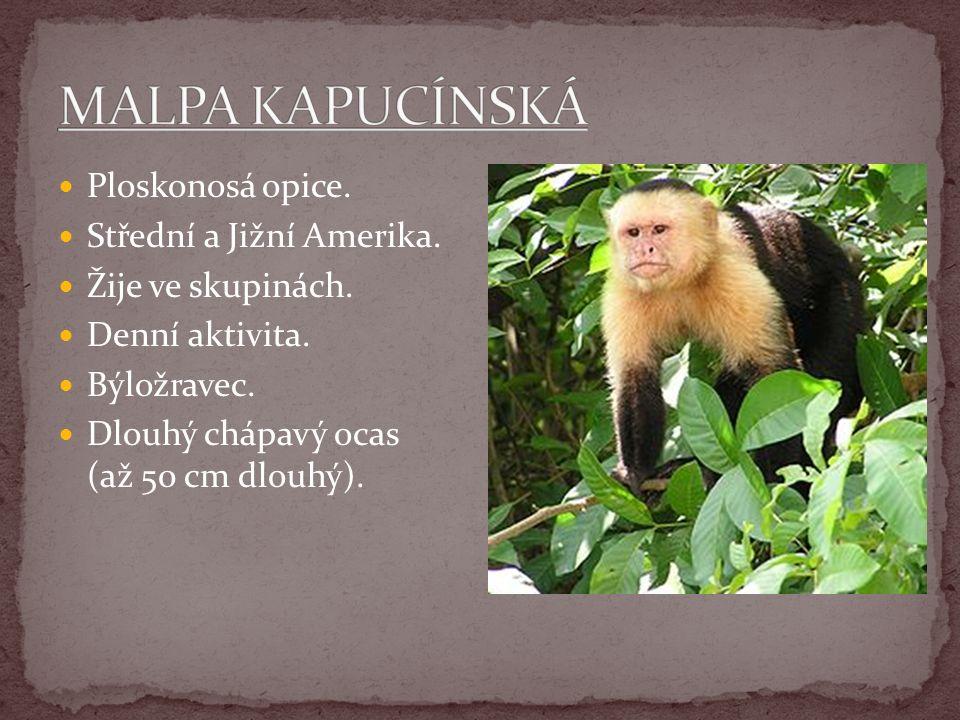 Ploskonosá opice. Střední a Jižní Amerika. Žije ve skupinách. Denní aktivita. Býložravec. Dlouhý chápavý ocas (až 50 cm dlouhý).