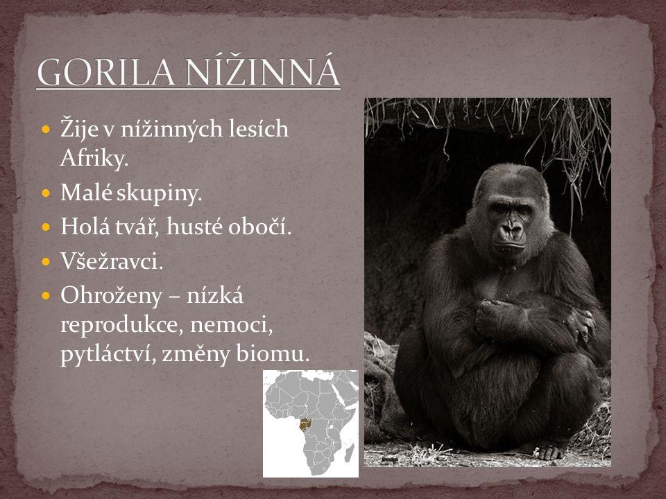 Žije v nížinných lesích Afriky. Malé skupiny. Holá tvář, husté obočí. Všežravci. Ohroženy – nízká reprodukce, nemoci, pytláctví, změny biomu.