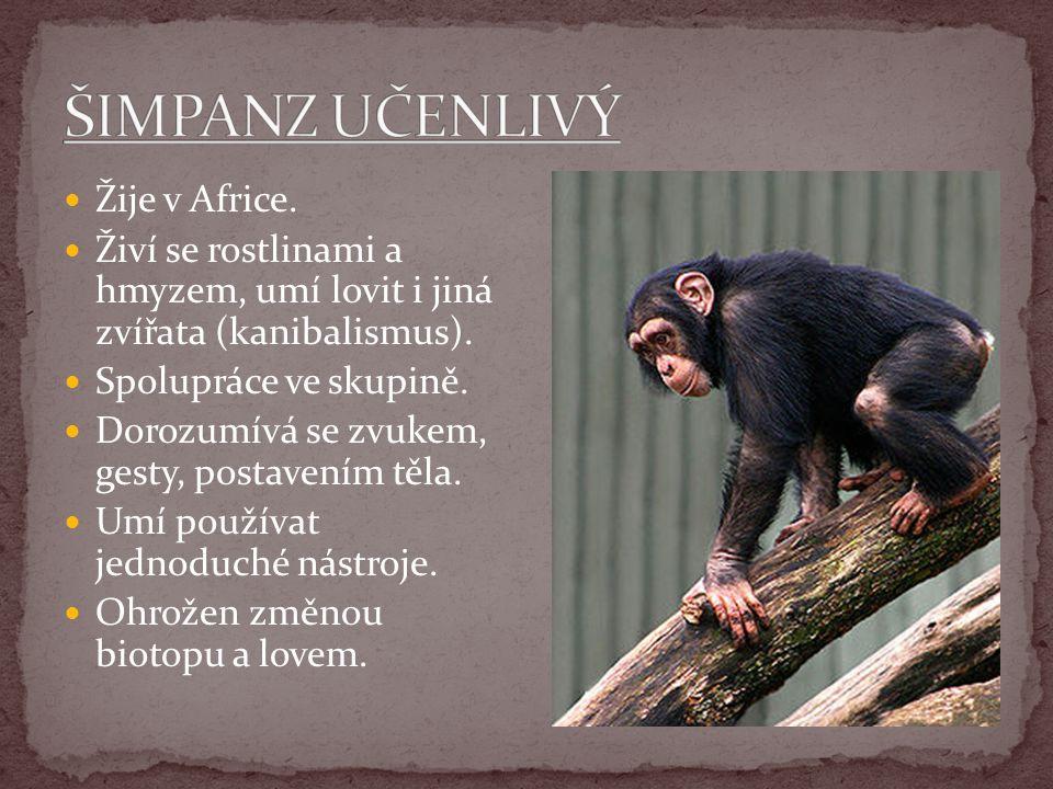 Žije v Africe. Živí se rostlinami a hmyzem, umí lovit i jiná zvířata (kanibalismus). Spolupráce ve skupině. Dorozumívá se zvukem, gesty, postavením tě