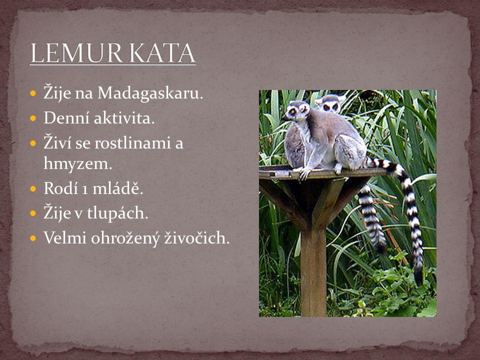 Žije na Madagaskaru. Denní aktivita. Živí se rostlinami a hmyzem. Rodí 1 mládě. Žije v tlupách. Velmi ohrožený živočich.