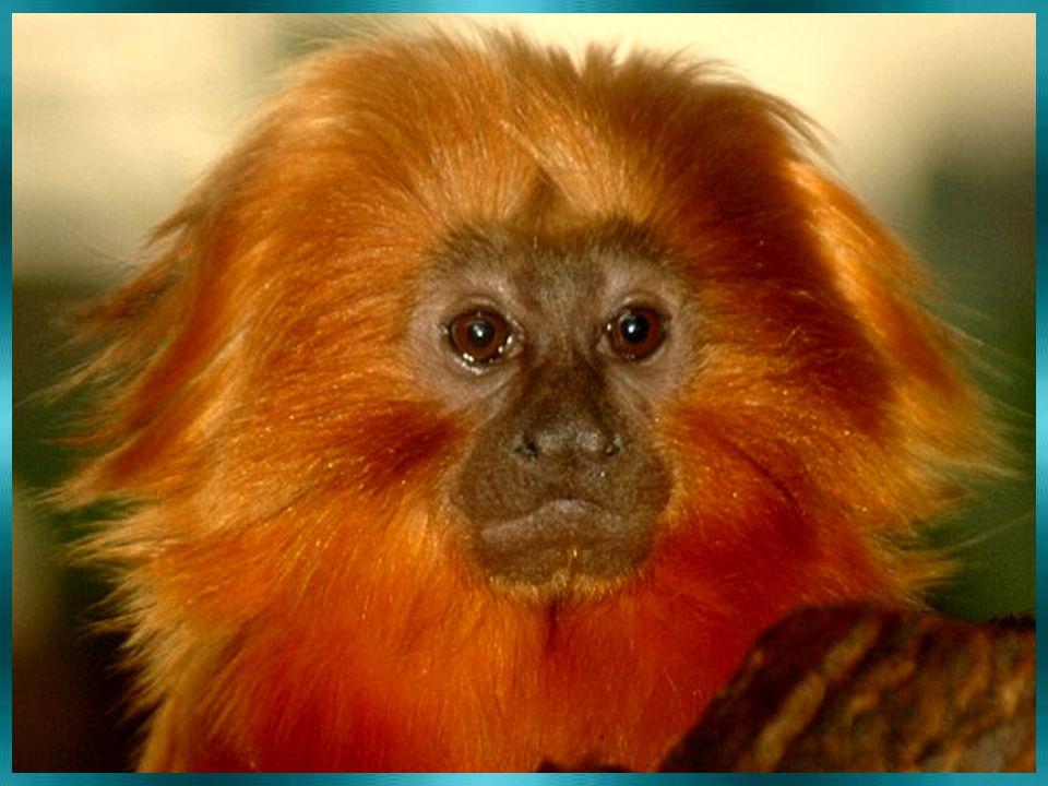 Jaké zvíře je LVÍČEK ZLATÝ ? Šelma kočkovitá Hlodavec Opice