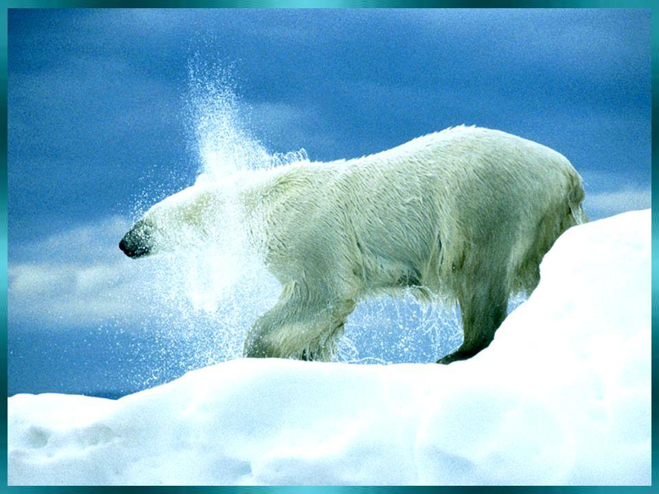 LEDNÍ MEDVĚD žije v Antarktidě ? ANO NE