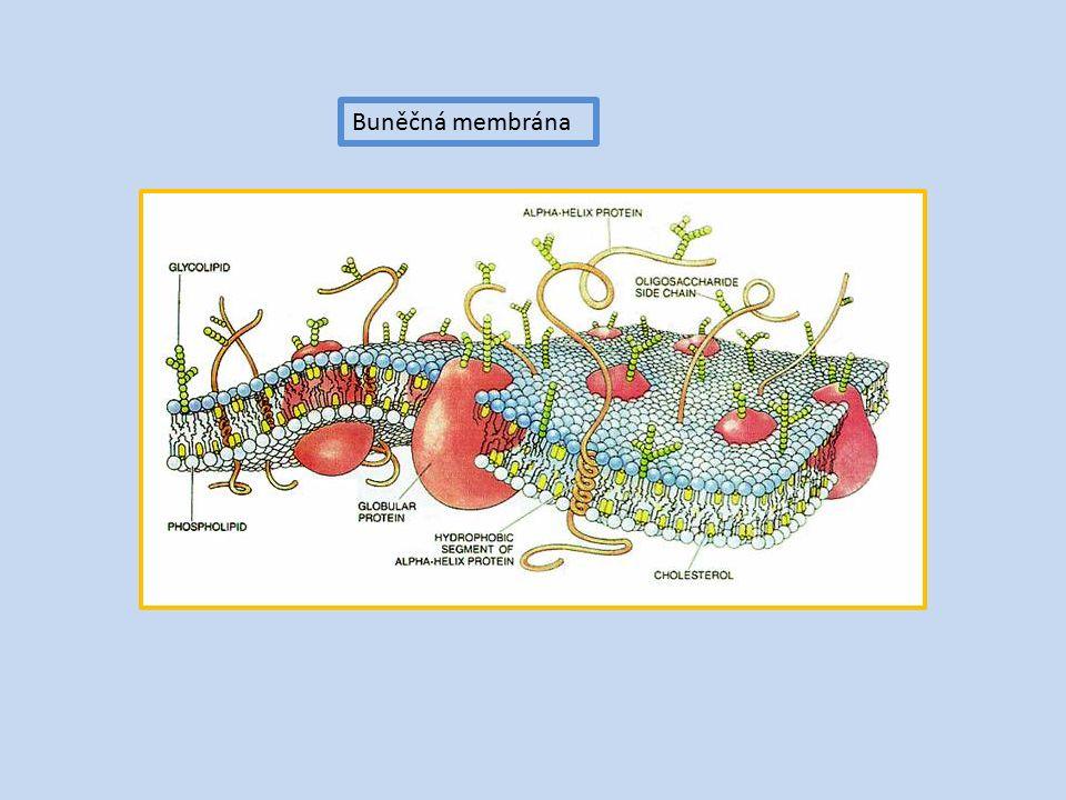 Buněčná membrána