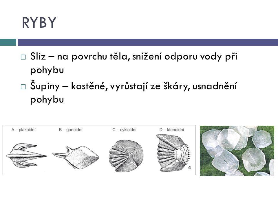 RYBY  Sliz – na povrchu těla, snížení odporu vody při pohybu  Šupiny – kostěné, vyrůstají ze škáry, usnadnění pohybu