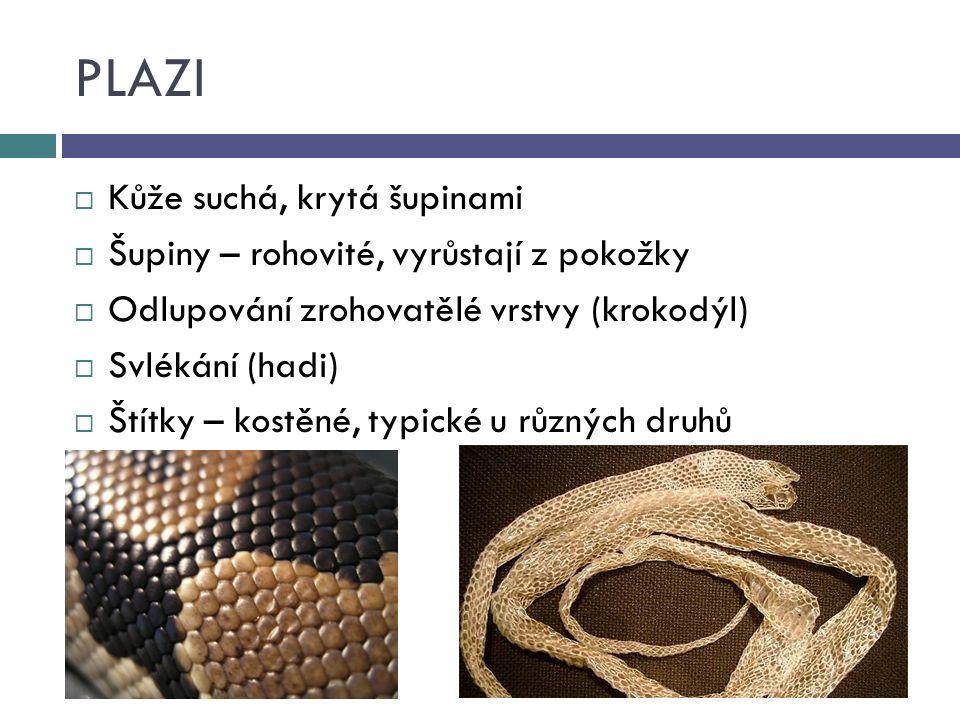 PLAZI  Kůže suchá, krytá šupinami  Šupiny – rohovité, vyrůstají z pokožky  Odlupování zrohovatělé vrstvy (krokodýl)  Svlékání (hadi)  Štítky – kostěné, typické u různých druhů