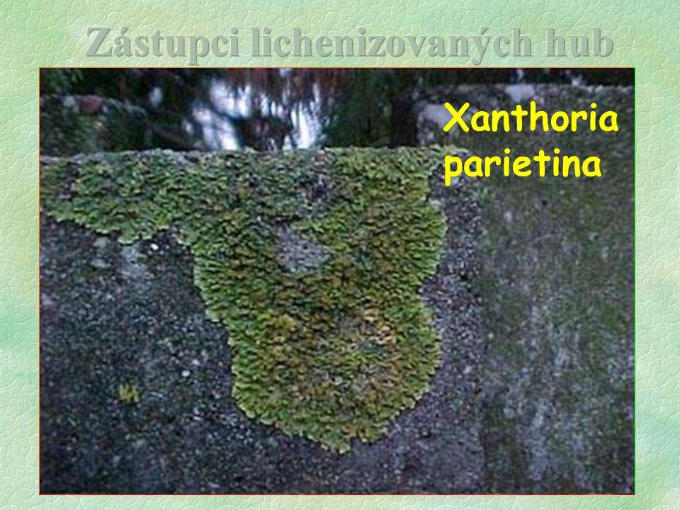 C l a d o n i a Evernia prunastri Hypogymnia physodes Lecanora sp.