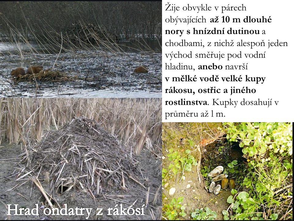 Žije obvykle v párech obývajících až 10 m dlouhé nory s hnízdní dutinou a chodbami, z nichž alespoň jeden východ směřuje pod vodní hladinu, anebo navrší v mělké vodě velké kupy rákosu, ostřic a jiného rostlinstva.