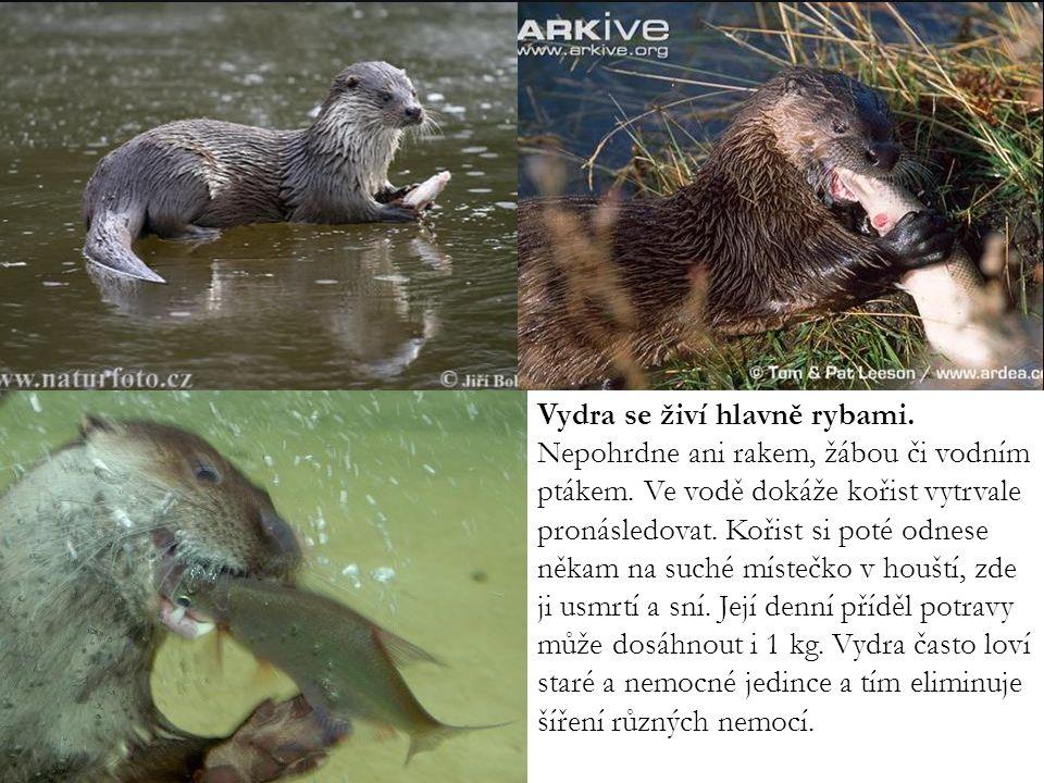 Vydra se živí hlavně rybami. Nepohrdne ani rakem, žábou či vodním ptákem. Ve vodě dokáže kořist vytrvale pronásledovat. Kořist si poté odnese někam na