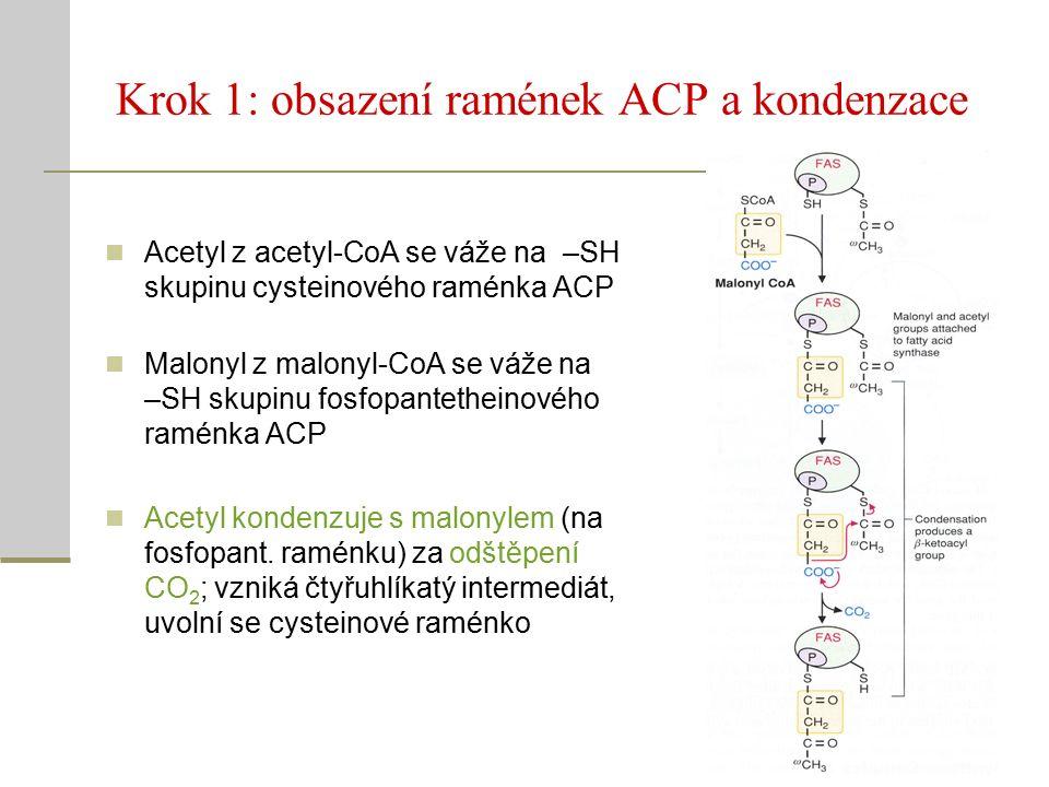 Krok 1: obsazení ramének ACP a kondenzace Acetyl z acetyl-CoA se váže na –SH skupinu cysteinového raménka ACP Malonyl z malonyl-CoA se váže na –SH skupinu fosfopantetheinového raménka ACP Acetyl kondenzuje s malonylem (na fosfopant.