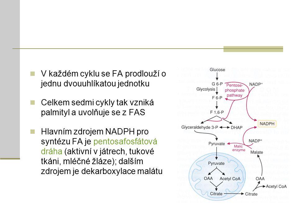V každém cyklu se FA prodlouží o jednu dvouuhlíkatou jednotku Celkem sedmi cykly tak vzniká palmityl a uvolňuje se z FAS Hlavním zdrojem NADPH pro syntézu FA je pentosafosfátová dráha (aktivní v játrech, tukové tkáni, mléčné žláze); dalším zdrojem je dekarboxylace malátu
