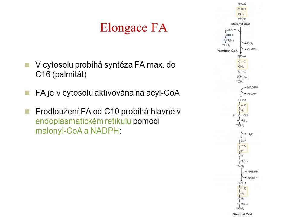 Elongace FA V cytosolu probíhá syntéza FA max.