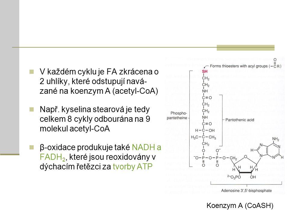 V každém cyklu je FA zkrácena o 2 uhlíky, které odstupují navá- zané na koenzym A (acetyl-CoA) Např.