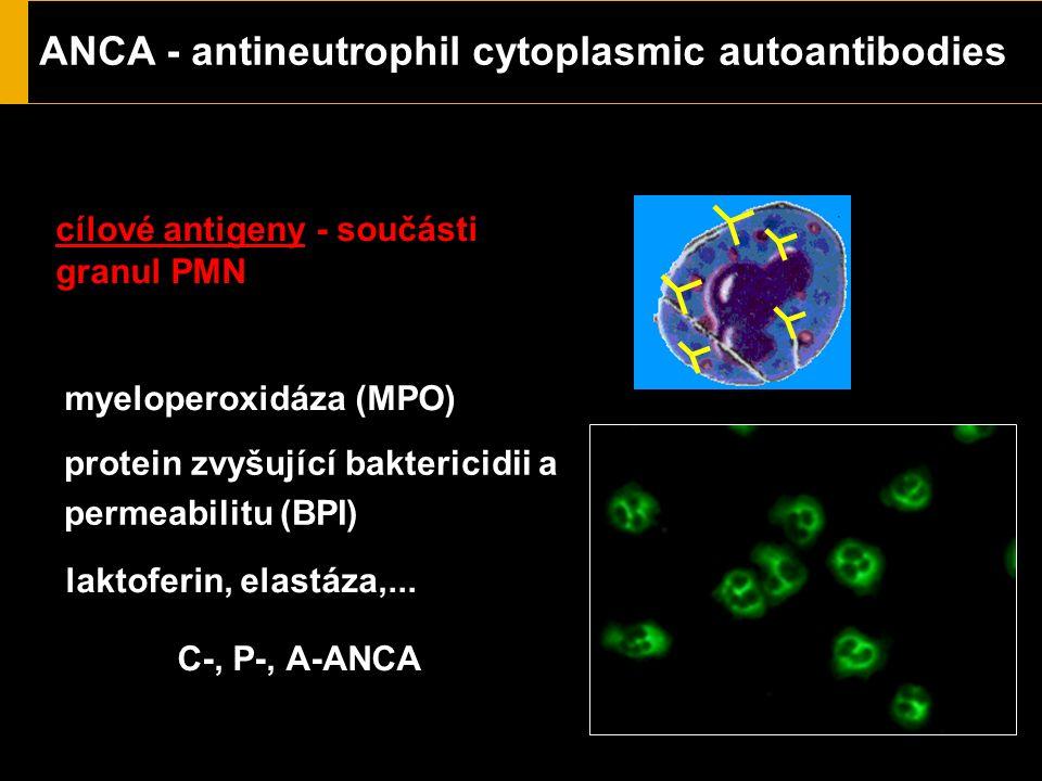 ANCA - antineutrophil cytoplasmic autoantibodies cílové antigeny - součásti granul PMN proteináza 3 (PR3) myeloperoxidáza (MPO) laktoferin, elastáza,.