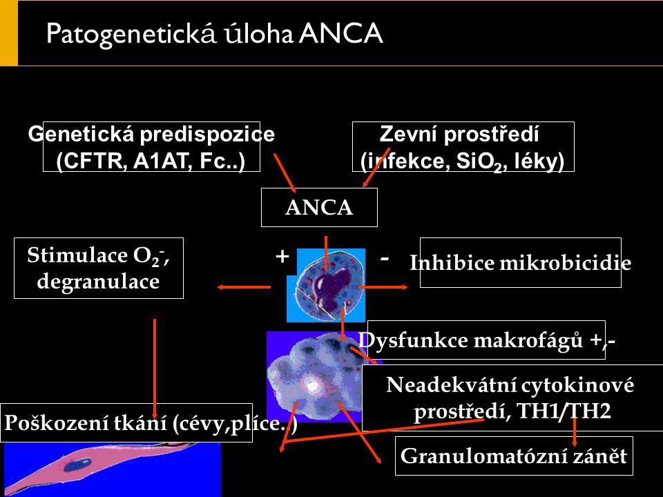 Patogenetick á ú loha ANCA Genetická predispozice (CFTR, A1AT, Fc..) Poškození tkání (cévy,plíce..) Inhibice mikrobicidie ANCA Stimulace O 2 -, degranulace Zevní prostředí (infekce, SiO 2, léky) Granulomatózní zánět +- Dysfunkce makrofágů +,- Neadekvátní cytokinové prostředí, TH1/TH2