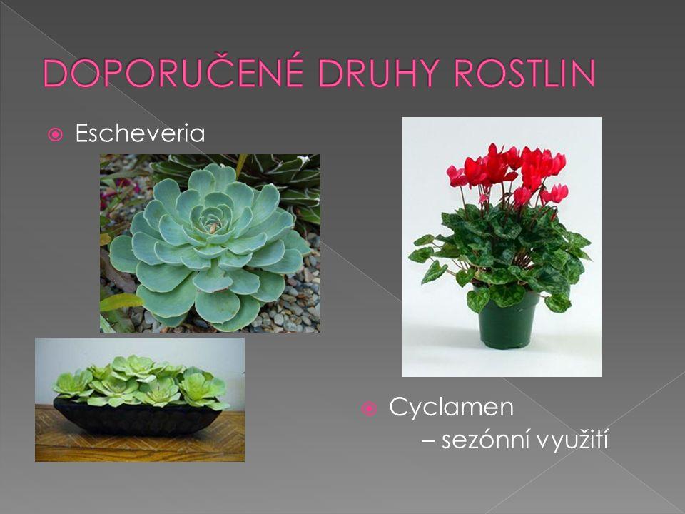  Escheveria  Cyclamen – sezónní využití