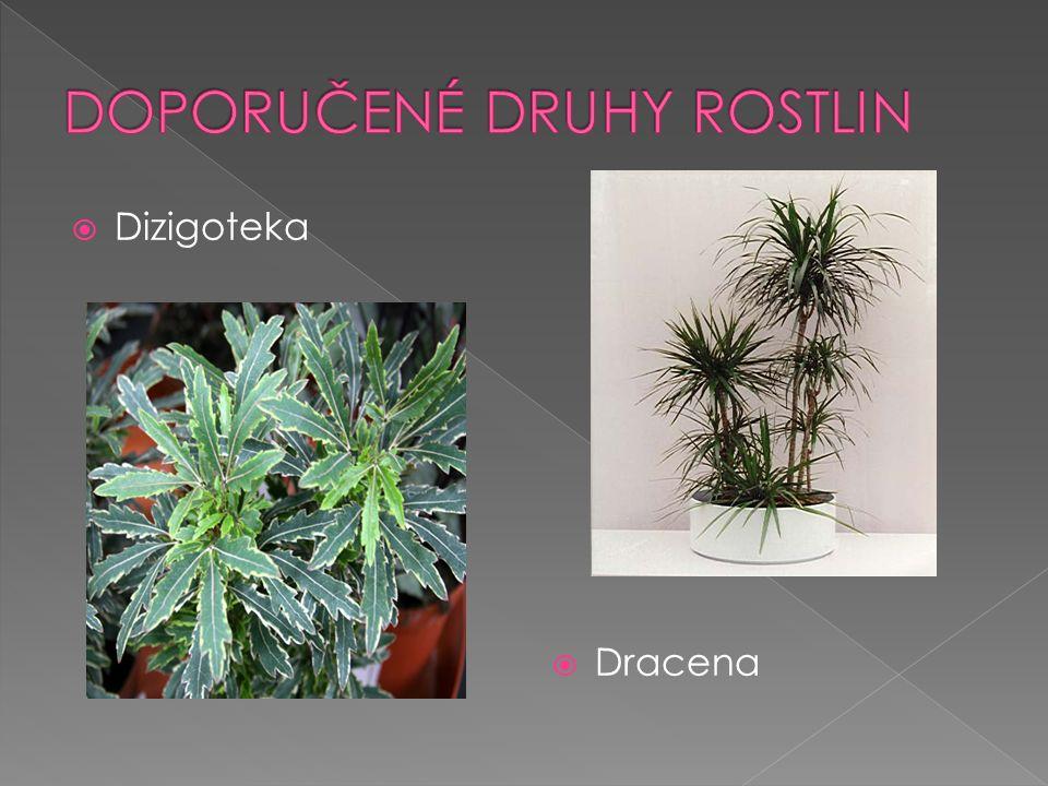  Dizigoteka  Dracena